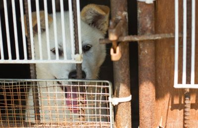 Dog Meat Consumption in Korea