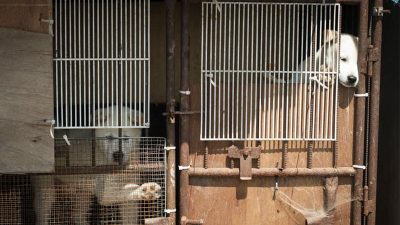 Caged dogs in Korea