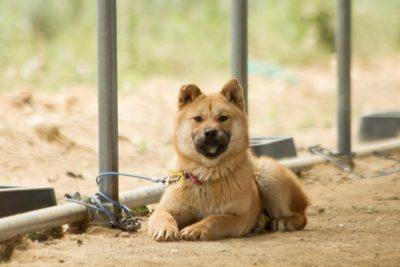 Proud Korean Rescue Dog