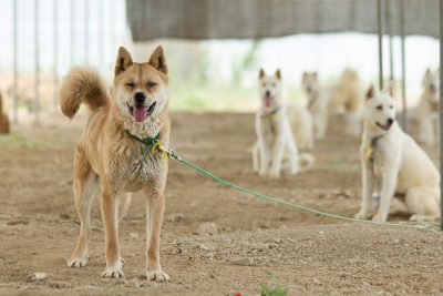 Dogs Rescued from a Dog Meat Farm