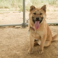 Bella is a mixed Jindo female with an obedient nature and absolutely gorgeous smile. Jinoak said that Bella is the most affectionate dog.
