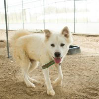 Judy is a miniature female Jindo dog, the smallest in the shelter weighting 9.7 Kg. Shes is very friendly and cute. Judy gets along well with dogs and people.