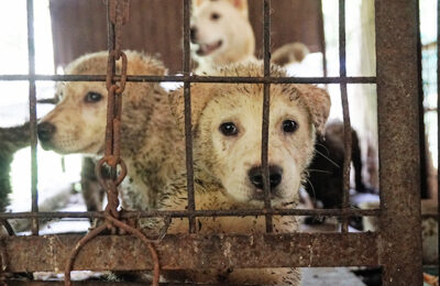 Dog Meat Farm Closing, 25 Dogs Going to Slaughter