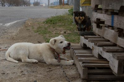 Dogs on the Streets in Korea