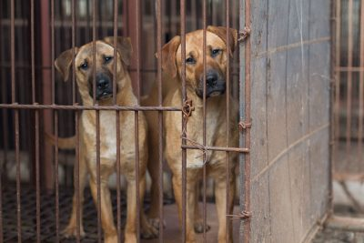 Caged Dogs at Korean Dog Meat Farm