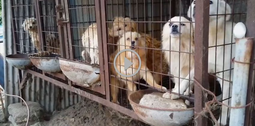 Bok Nal: Korean Dog Meat Farm