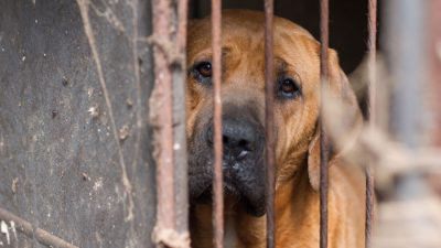 Waiting to Die in a Korean Dog Meat Farm