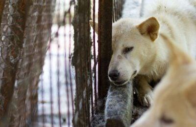 Jeonju Dog Farm Closed, Dogs Rescued