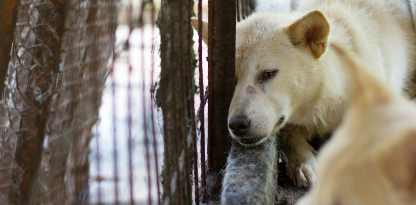 Jeonju Dog Farm Closed, Dogs Rescued