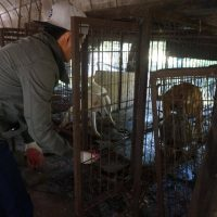 Rescuing dogs from the Jeonju dog farm