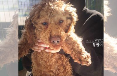 12 Poodles Rescued & Headed to NYC