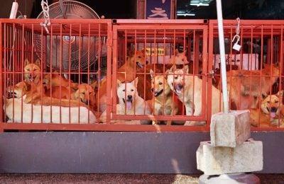 Tax Evasion May End Korean Dog Meat Trade