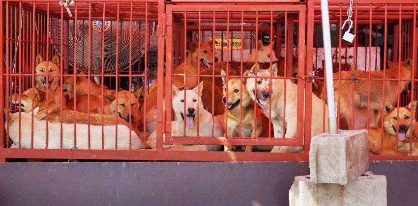 Tax Evasion May End Korean Dog Meat Trade
