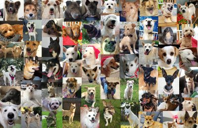 Celebrating a milestone of matching 240 Korean rescue dogs to their forever homes in 2017
