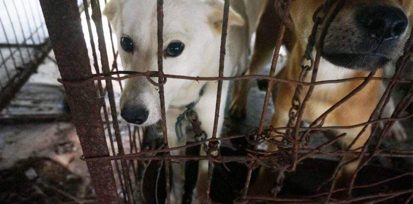 80 Dogs Rescued from Dog Meat Farm in Korea
