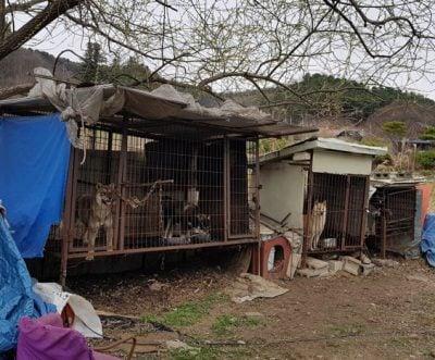 Korean-dog-farm where Dodo was captured